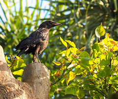 P5182348 (Sunset Beach Buzz) Tags: em1markii olympus buzzfotoz raven blackbird crow