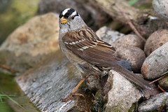 White-crowned Sparrow (dennis_plank_nature_photography) Tags: avianphotography thurstoncounty whitecrownedsparrow naturephotography wa avian birds blind copse home littlerock nature pond