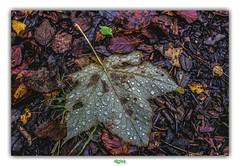 TRANSPIRER à GROSSES GOUTTES // SWEATING BIG BLOBS (régisa) Tags: sweat suer transpirer gouttes feuille leaf wakehurst wakehurstplace england angleterre analogy analogie botanical garden perspiration