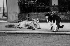 Street cats (wketsch) Tags: graz flowers street cats animals pet bw monochrome nikon