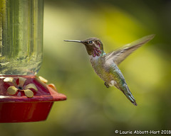 20180418  An Afternoon in the Garden  11482-Edit (Laurie2123) Tags: hummer hummingbird laurieabbotthartphotography laurieturner laurieturnerphotography laurie2123 moms nikkor80400mm nikond800 garden