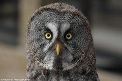 Great Grey Owl - Falconry Fair (Mandenno photography) Tags: animal animals greatgrey owl owls ngc nederland netherlands nature fair falconry bird birds