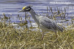 Yellow-Crowned Night Heron IMG_8186 (ronzigler) Tags: yellowcrowned night heron bird birdwatcher avian sigma 150600mm nature canon