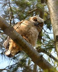 DSC_1249_edit (Hanzy2012) Tags: nikon d500 afsnikkor500mmf4difedii toronto ontario canada wildlife bird teleconverter tc14eii greathornedowl bubovirginianus owl