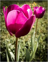 """""""Ein Leben ohne Träume ist wie ein Garten ohne Blumen"""" (kurtwolf303) Tags: blumen garten tulpen rot tulips flowers garden red nikoncoolpixs9900 flora frame fotorahmen natur nature compactcamera nikon blüten blossoms kurtwolf303 nahaufnahme macro"""