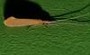 LITTLE FAKE MOTH Caddis-fly Neurochorema sp Hydrobiosidae Tricoptera Airlie Beach rainforest P1250161 (Steve & Alison1) Tags: little fake moth caddisfly neurochorema sp hydrobiosidae tricoptera airlie beach rainforest