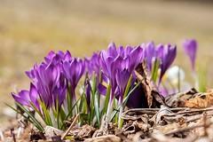Crocuses (Karen_Chappell) Tags: spring flower floral nature purple bokeh macro crocus canonef100mmf28usmmacro park bowringpark newfoundland nfld canada atlanticcanada avalonpeninsula stjohns