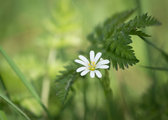 stitchwort (Emma Varley) Tags: commonstitchwort wild flower plant spring uk westsussex white green april 5petals