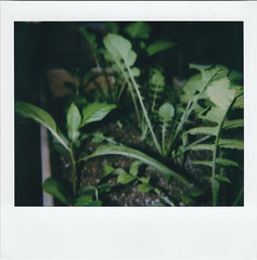 Radishes (m.ashe7) Tags: spectra polaroid polaroidoriginals polaroidspectra polaroidweek f112 close closeup plant instantfilm