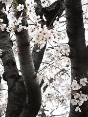 Cherry blossom 櫻花 (MelindaChan ^..^) Tags: busan skorea 釜山 cherry petal korean bloom blossom tree plant 櫻花 櫻 花 chanmelmel mel melinda melindachan spring travel
