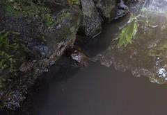 Pestered (Giorgi Natsvlishvili) Tags: adjara georgia frog toad batumibotanicalgarden batumi botanicalgarden japanesegarden naturephotography photography travel travelphotography amphibian