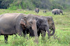 Asian Elephants, Kaudulla National Park, Sri Lanka (CRAddison) Tags: sri lanka wildlife safari elephant asian tank ceylon srilanka tusks forest mammal animal wild trio family eating feeding trunk ears group