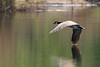 Canada Goose / Kanadagans (CJH Natural) Tags: canadagoose kanadagans reflection bank lake call honk nature wildlifephotography naturephotography wildlife spring