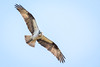 Coming for You (jeff_a_goldberg) Tags: bakerslakenaturepreserve wildlife osprey nature bird pandionhaliaetus forestpreservedistrictofcookcounty raptor birdinflight birdofprey inverness illinois unitedstates us