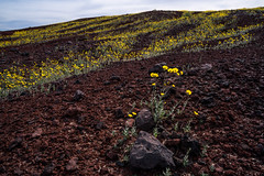 Gold Flower Lava (Kurt Lawson) Tags: a7r2 bloom cinder clouds cone death deathvalley fault fe mountains national nationalpark park sony split splitcindercone superbloom valley volcano westside wildflower wildflowers zeiss
