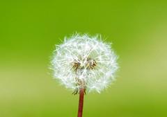 Sorgin-belarra (Erre Taele) Tags: dandelion taraxacum officinale plants plantas landareak natura nature naturaleza berdea verde green spring udaberria primavera