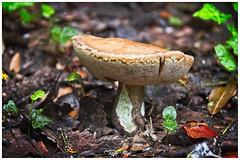 Bolet (Rafel Miro) Tags: riells santmartideriells selva girona catalunya catalonia bosc bosque forest bolet seta mushroom riellsriellsiviabrea