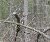 Bruant à gorge blanche White-throated Sparrow - Zonotrichia albicollis (123océ1234) Tags: bruant familier chipping sparrow spizella passerina branche arbre oiseau paysage