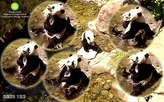 Bei Bei (Hiya visitors up there! You see me splash the water now. It feels sooooo refreshing. Too bad ya hafta watch me in the hot sun.) 2018-05-09 at 11.55.35–.56.44 AM