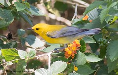 Prothonotary Warbler (rosemaryharrisnaturephotography) Tags: prothonotarywarbler warbler prothonotary florida migration 2018 wildlife nature flower green bird rosemaryharris canon7dmk11 canon400mmf56seriesllens coth alittlebeauty coth5 ngc npc