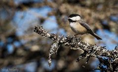 Black-capped Chickadee (Melissa M McCarthy) Tags: blackcappedchickadee chickadee bird songbird animal nature outdoor wildlife cute tiny spring stjohns newfoundland canon7dmarkii canon100400isii