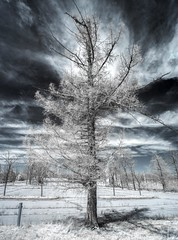 Scraggly Tree (Thomas James Caldwell) Tags: tree infrared ir clouds sky blue white foreboding weird dark strange scraggly dramatic different