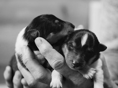 3 day old puppies (JAMADELILA) Tags: puppy welpe haustier tier animal black white bw panasonic g81 olympus 50mm cute newborn life eyes wide shut tender 25mm portrait baby nature schwarz weis