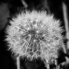 dandelion-pollenbw (petern1694) Tags: pollen dandelion weed seed plant blackandwhite bw monochrome canon canon500d eos closeup macro