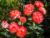 peace rose cluster (pbo31) Tags: bayarea california nikon d810 color may 2018 spring boury pbo31 livermore pleasanton rose bush nature red peace eastbay alamedacounty flora flower bloom green garden