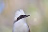 White-crested Laughing Thrush (Zara Calista) Tags: bird whitecrested laughing thrush nature outdoors portrait white black eyes mask closeup