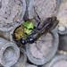 Grabwespe Sphecidae sp. 180517 015.jpg