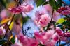 ILCE-7M2-09990-20180518-1544-HDR // Tokina AT-X SD 80-200mm 1:2.8 (Otattemita) Tags: 80200mmf28 florafauna tokina tokinaatxsd80200mmf28 fauna flora flower nature plant wildlife tokinaatxsd80200mm128 sony sonyilce7m2 ilce7m2 cnaturalbnatural ota