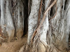 Ficus macrophylla (Linda DV) Tags: lindadevolder lumix panasonic dcfz83 geotagged geomapped tenerife 2018 spain islascanarias canaryislands europe ficusmacrophylla ribbet