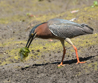 Green Heron with another fish