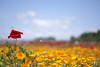 Poppy_6 (kaz_Pinguist) Tags: pentax k1 20180520 saitama frower 100mmf28macro poppy