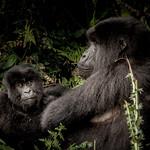Gorilla family thumbnail