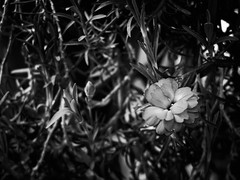 3519 - Flower (Diego Rosato) Tags: flower fiore bianconero blackwhite cespuglio bush fuji x30 rawtherapee