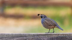 California Quail (Allan Hack) Tags: bernalgulnacjoiceranch birds californiaquail animals wildlife sanjoseca hiking sanjose california unitedstates us
