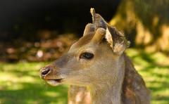 Close up deer (misosuppen) Tags: danmark denmark aarhus århus summer forest nikond7200 nikon18140mm dyrehaven animal deer