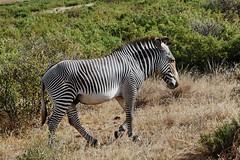 Grévy's zebra (Equus grevyi) (Susan Roehl) Tags: kenya2015 lewawildlifeconservancy lewadowns kenya eastafrica grevyszebra equusgrevyi mammal animal outdoors imperialzebra largestzebra mostendangered narrowerstripes largeears sueroehl naturalexposures photographictours lumixdmcgh4 panasonic 100300mmlens handheld grassland cropped ngc coth5