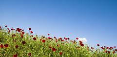Wallpaper (jimiliop) Tags: spring flowers poppiew field sky green red blue cloud wide lowpov lowangle nature happy beauty