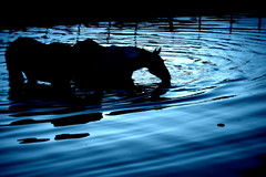 Siluetas (Eduardo Amorim) Tags: cavalos caballos horses chevaux cavalli pferde caballo horse cheval cavallo pferd crioulo criollo crioulos criollos cavalocrioulo cavaloscrioulos caballocriollo caballoscriollos pampa campanha pelotas costadoce riograndedosul brésil brasil sudamérica südamerika suramérica américadosul southamerica amériquedusud americameridionale américadelsur americadelsud cavalo 馬 حصان 马 лошадь ঘোড়া 말 סוס ม้า häst hest hevonen άλογο brazil eduardoamorim pôrdosol poente entardecer poniente atardecer sunset tramonto sonnenuntergang coucherdesoleil crepúsculo anoitecer açude barrage dam damm aguada diga