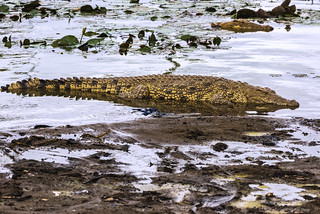 COCCODRILLO IN ATTESA    ----    A CROCODRILE WAITING
