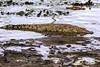 COCCODRILLO IN ATTESA    ----    A CROCODRILE WAITING (Ezio Donati is ) Tags: natura nature acqua water paludi swamps savana bush animali animals pericolo danger africa costadavorio yamoussounkro