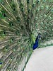 ABQ BioPark Zoo (f l a m i n g o) Tags: blue green fan tail feathers peacock monday 2018 16th april zoo biopark albuquerque