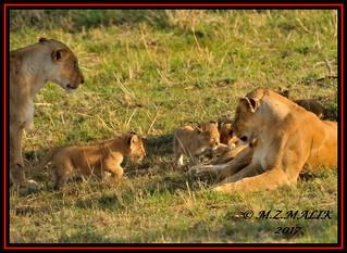 FEMALE LIONESS (Panthera leo) WITH CUBS......MASAI MARA......SEPT 2017.