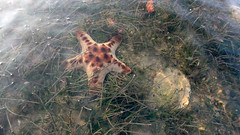 Knobbly sea star (Protoreaster nodosus) (wildsingapore) Tags: changi carpark7 echinodermata nodosus asteroidea protoreaster shore island singapore marine coastal intertidal seashore marinelife nature wildlife underwater wildsingapore