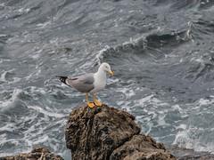 Yellow-legged Gull (distant shot) (Tris Enticknap) Tags: yellowleggedgull nikond500 gulls europe gibraltar larusmichahellis