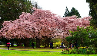 Vancouver Cherry Blossom Festival: April 3-29, 2018