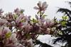 Magnolia Tree, Jubilee Gardens, Chichester (14) (f1jherbert) Tags: sonya68 sonyalpha68 alpha68 sony alpha 68 a68 sonyilca68 sony68 sonyilca ilca68 ilca sonyslt68 sonyslt slt68 slt jubileegardenschichesterwestsussex jubileegardens westsussex jubilee gardens chichester west sussex